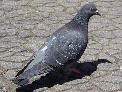 長野駅前の鳩