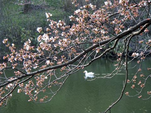 桜とアヒル