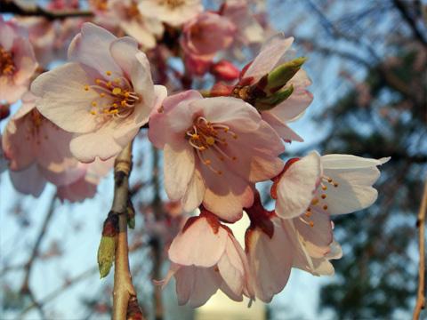 高田公園の桜アップ