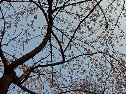 高田公園の桜を見上げる
