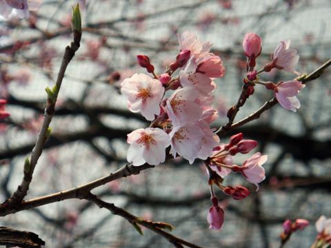 高田公園の桜1
