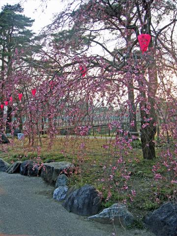 垂れている桜