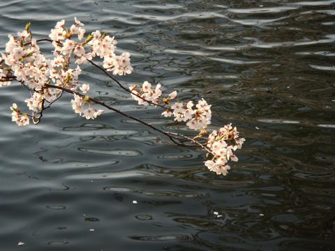 水面にのびる桜の木