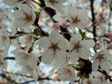 高田公園の桜2
