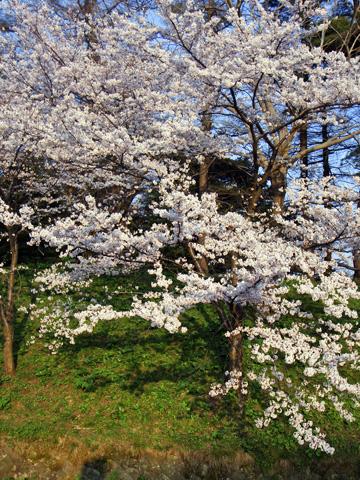 高田公園の満開の桜
