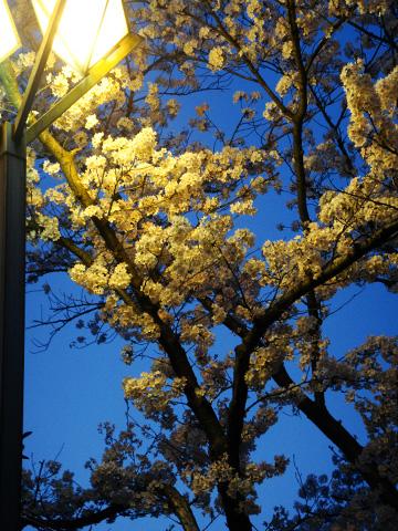 ライトアップされる桜3