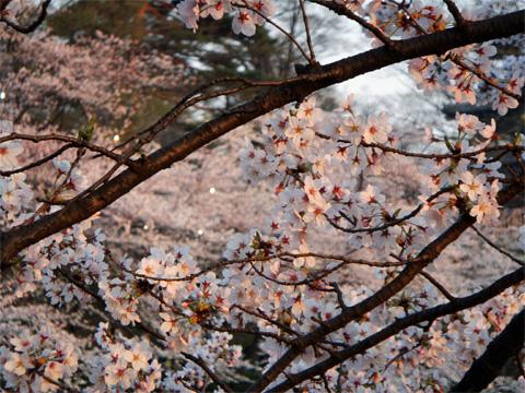 ライトアップされる桜1