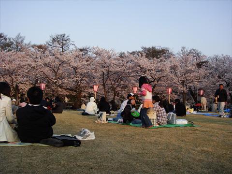 高田公園の桜と芝生
