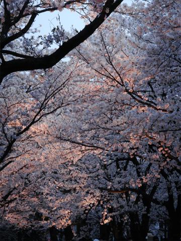 ライトアップされる桜