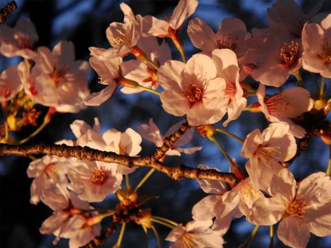 ライトアップされる桜2