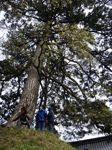 能生白山神社の大きな松