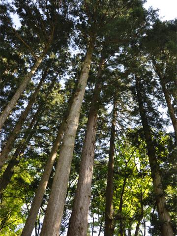 林泉寺の林