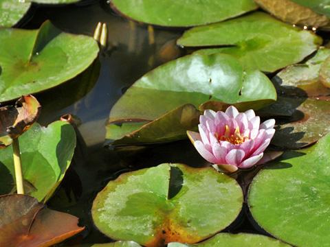 林泉寺の蓮の花