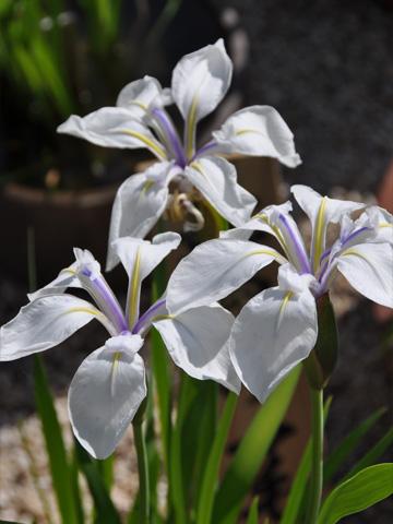 林泉寺の花3