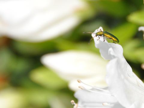 つつじと昆虫