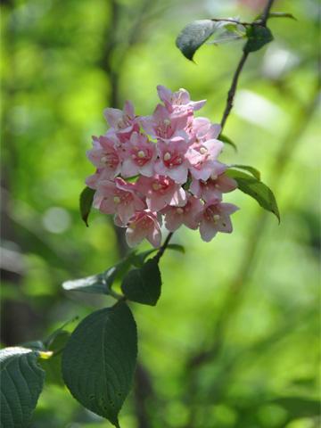 金子つつじ園の花