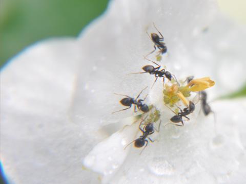 白い花に群がる蟻