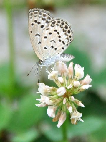 高田公園の蝶2