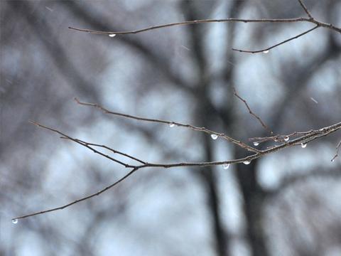 木々と雫1
