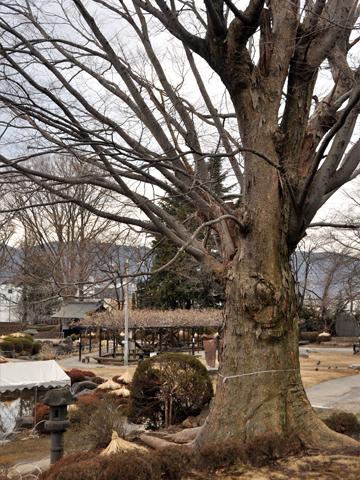高島城・欅の木