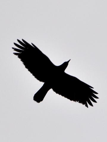 カラスの飛翔