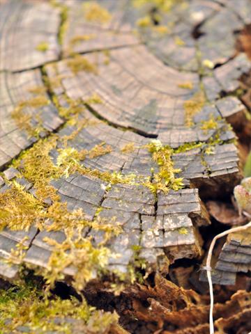 朽ちた樹木と苔