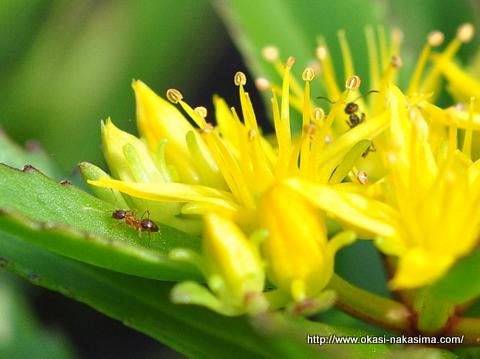 黄色い花と蟻
