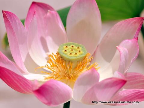高田公園蓮の花