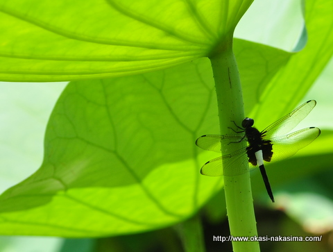 蓮の茎にとまるトンボ