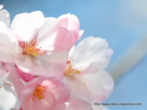 桜の花のクローズアップ