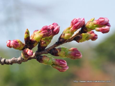美山公園の桜の蕾