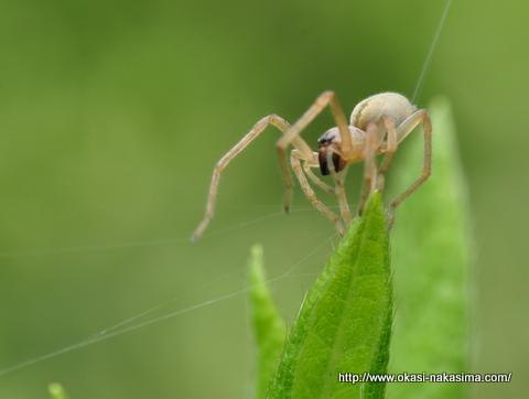 月華山かねこつつじ園のクモ