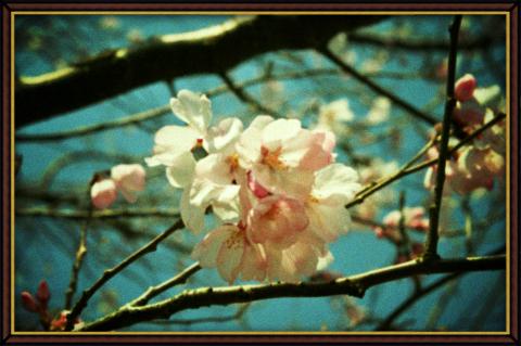 トイカメラ風・桜