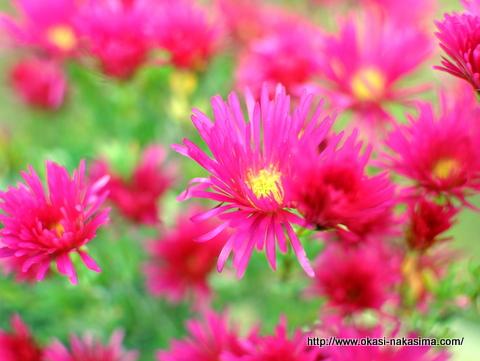 糸魚川・花いっぱいフェアの花