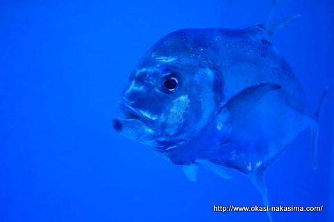 スケルトンな魚