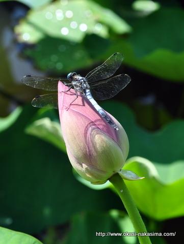 蓮の花とシオカラトンボ