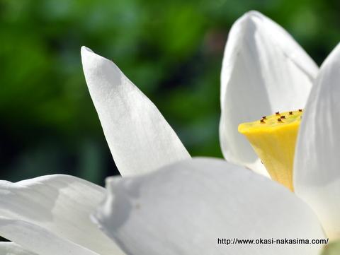 白い蓮の花