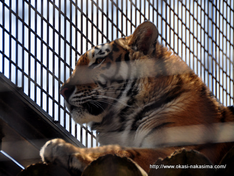 眼光の鋭い虎