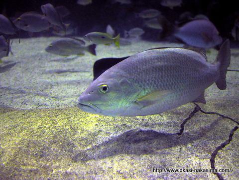 マリンジャンボ水槽の魚