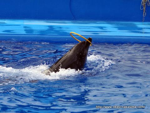 輪をグルグルさせながら泳ぐイルカ